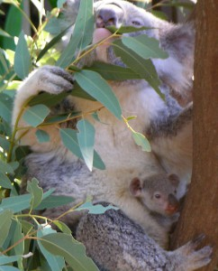 800px-Koala_with_young