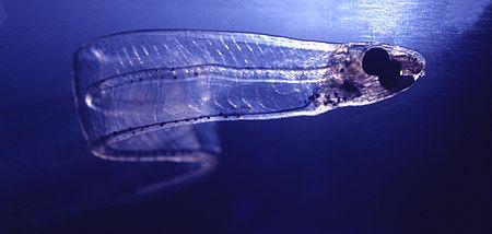 450px-LeptocephalusConger