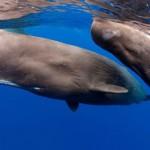 マッコウクジラ、大型哺乳類最強の潜水力!ダイオウイカをも食らうその生態に迫る