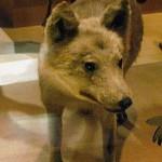 ニホンオオカミとは何だったのか?狼の再導入による生態系再構築に光