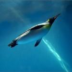 飛べなくなった鳥達(3):水と共に生きる鳥(ペンギン、ガチョウ、フナガモ、など)