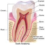 「歯と虫歯」:消化を助ける最初の器官、虫歯菌とどう戦う?-消化器官のしくみ(1)