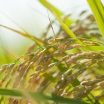 糖質と炭水化物:生体エネルギーを生む過程-消化と栄養(2)