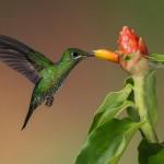 鳥と昆虫の飛行とホバリングの秘密(後編):ハチとハチドリの驚くべき高速羽ばたき