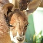 カンガルーやコアラの生態、有袋類の変わった子育て