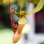 虫を食べない?食虫植物の不思議な共生関係の秘密